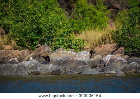 Otters Of Chambal River. A Habitat Image Of Smooth-coated Otter (lutrogale Pers) Family Pups Are Pla