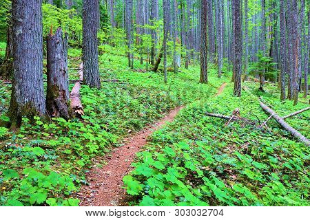 Pacific Crest Hiking Trail Surrounded By Pine Trees And Lush Green Plants On The Forest Floor Taken