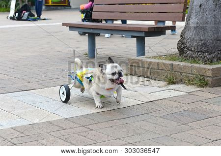Cripple Invalid Handicapped Dog On Streets Of Hong Kong. Love, Help And Care For Pets Concept