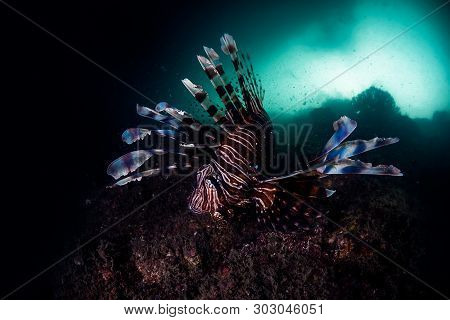 A Beautiful Lion Fish Showing Off Its Colours