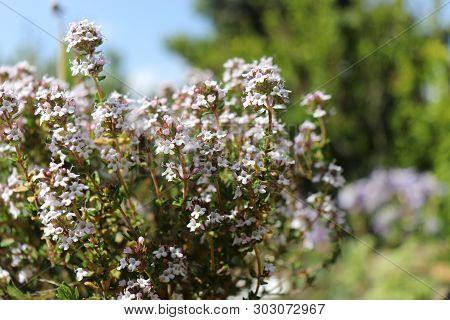 Thymus Vulgaris Common Thyme, German Thyme, Garden Thyme. Thymus Vulgaris Is A Species Of Flowering