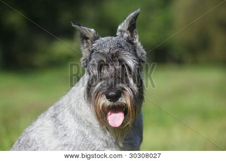 Close-up Portrait Of A Schnauzer Dog