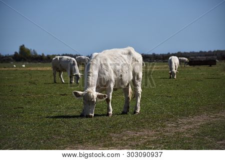 Sunlit Herd With White Cows In A Green Pasture Land At The Swedish Island Oland