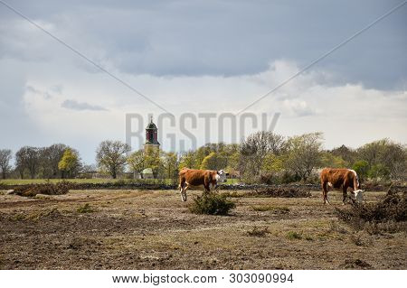 Cows By Springtime In A Great Dry Grassland, A World Heritage Site At The Swedish Island Oland