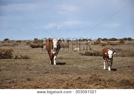 Brown Cow And Calf On The Go I A Dry Grassland At The Swedish Island Oland