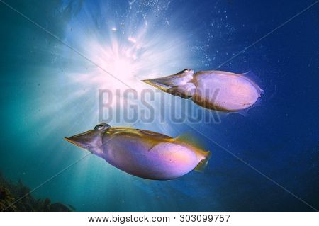 A Beautiful Pair Of Squid Shot Wide Angle With The Sun In The Back Ground
