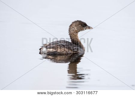 A Pied Billed Grebe Swimming And Reflection.