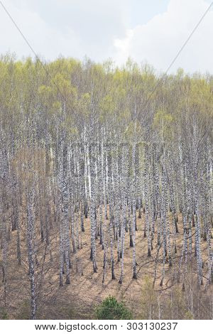 Birch Forest On The Edge At Spring