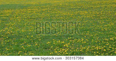Spring Blooming Dandelion . South Bohemia, Czech Republic