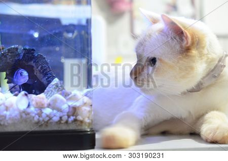 Cichlid Fish, Scientific Name: Pseudotropheus Demasoni. Cat And Fish Close Up. Kitten Watching The B