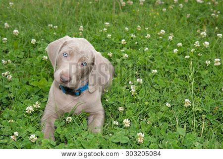 Weimaraner puppy lying in grass, looking at the viewer with an adorable head tilt poster