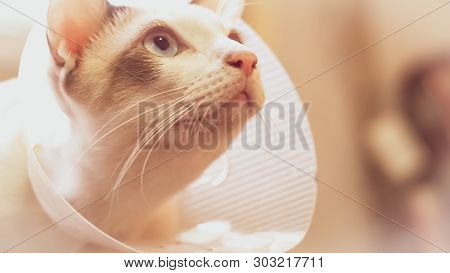 Cat With Collar, Cat After Surgery, Pain In Cats, Painful Pets, Collar Cone Translucent Recovery Pla