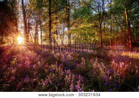 Dawn Sunrise Through Bluebell Woodland. Wild Purple Flowers Cover The Forest Landscape Floor With Co