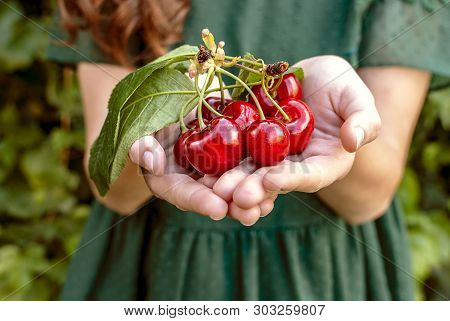 Isolated Young Woman With Big Red Cherries In Her Hands. Cherry With Leaf And Stalk. Cherries With L