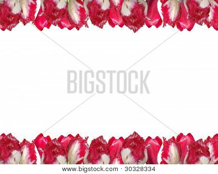 Frame From The Red-white Tulips, Isolated On A White Background.