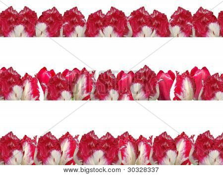 Three Different Frames With The Red-white Tulips, Isolated On A White Background.