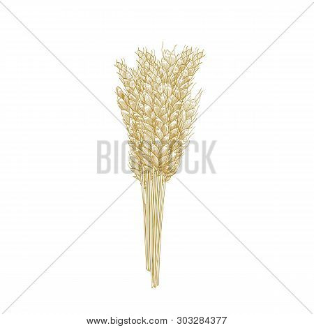 Bunch Of Wheat Ears Isolated On White Background. Cultivated Cereal Plant, Grain, Crop. Harvest Or Y