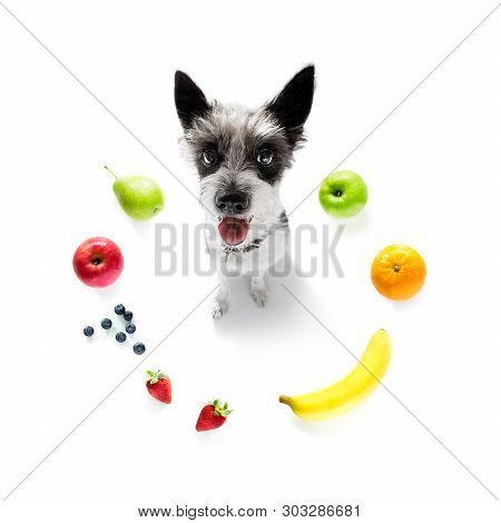 Poodle With Guilty Conscience  For Overweight, And To Loose Weight , Isolated On White Background An