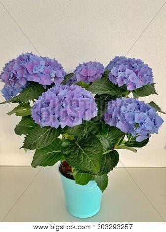 Purple hydrangea flowers in a pot