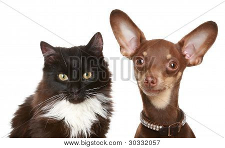 Russian Toy Terrier And Cat