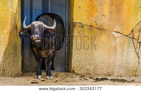 Closeup Of A Cape Buffalo, Tropical Bovine From Africa, Domesticated Farm Animals