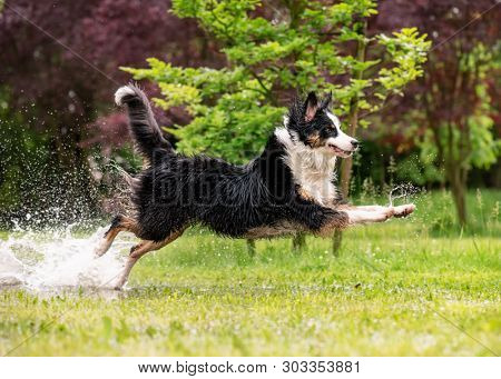 Australian Shepherd Dog playing on green grass at park. Happy wet Aussie run on watery meadow after rain, water sprinkles. Dog have fun in puddle at outdoors. poster