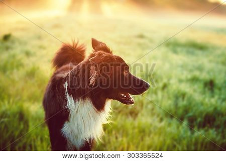 A Purebred Border Collie Dog Without Leash Outdoors In Nature In Beautiful Sunrise. Dog Play And Run