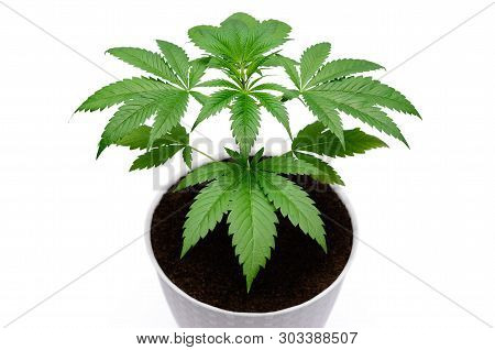 Green Cannabis Leaves Isolated On White Background. Growing Medical Marijuana.