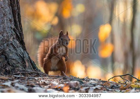 Portrait Of A Cute Red Squirrel (sciurus Vulgaris)