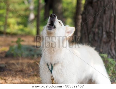 Chien Berger Blanc Suisse In Summer Forest The Dog Howls And Barks