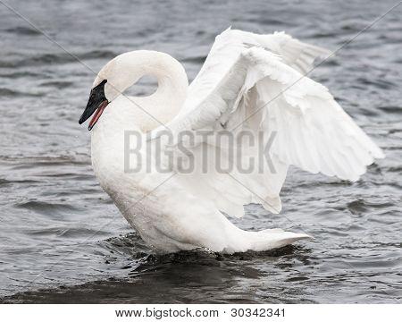Trumpeter Swan (Cygnus buccinator) Display - motion blur on wings poster