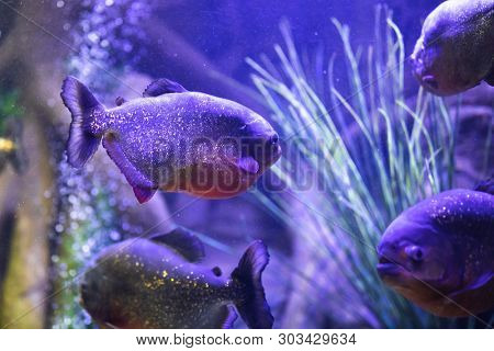 red-bellied piranha fish in aquarium with illumination