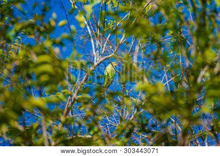 Vernal Hanging Parrot On Tree Day Time.