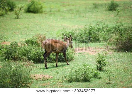 Eld's Deer, Thamin, Brow-antlered Deer In The Green Meadow