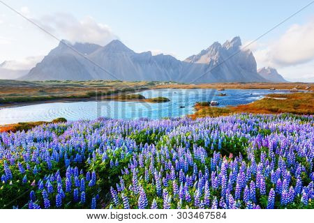 Gorgeous landscape with blooming lupine flowers field near famous Stokksnes mountains on Vestrahorn cape, Iceland