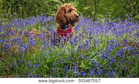 Red Cockapoo Sitting In The Bluebells