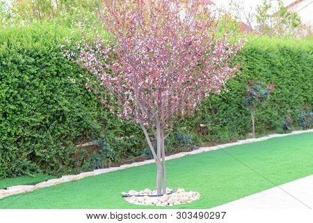 Summer Garden.flowering Tree-plum, Bushes And Grass In Front Of The House, Front Yard. Landscape Des