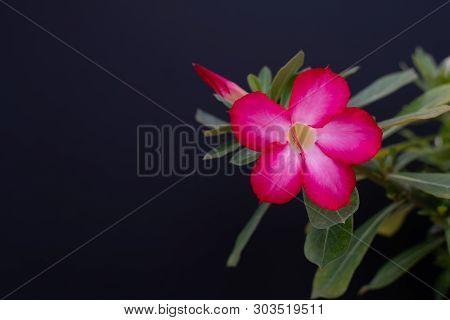 Adenium Obesum Or Desert Rose. Adenium Tree Has A Beautiful Flower Isolated On Black Background.