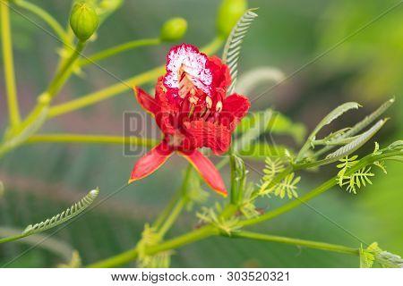 Flame Tree, Royal Poinciana, Flam Boyant In-thailand.flower Delonix Regia.