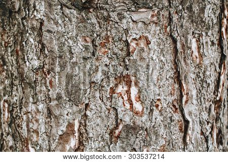 Closeup Macro Detail Of Old Aged Beautiful Oak Maple Tree Bark Barque. Natural Wooden Textured Abstr