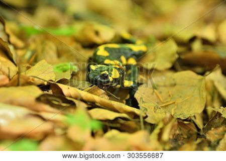 Detail Of Head Salamandra Lizard On Foliage In Wood