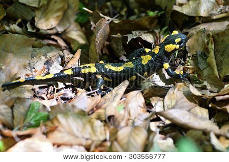 Salamandra Lizard Crawls Through The Leaves In The Forest