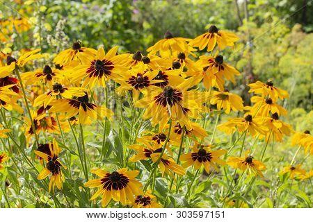 Rudbeckia Hirta Two-tone Flowers Yellow Brown Black Black-eyed Susan. Beautiful Garden Flowers Yello