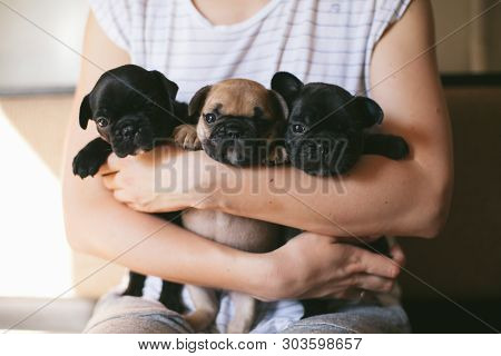 Portrait Of Three Adorable Bulldog Puppies Sitting On The Hands Of A Girl. Puppies Are Looking Towar