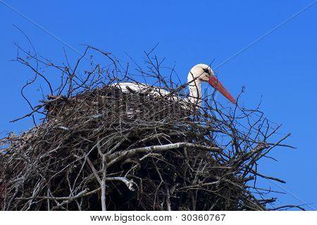 The White Stork On The Nest