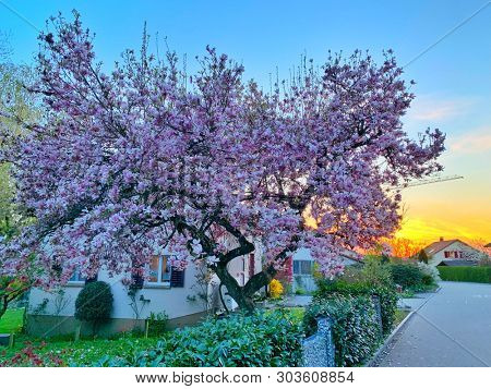 Pink magnolia flowering tree at sunset