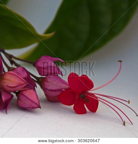 Photograph Of A Flower Of The Scarlet Glory Bower Vine That Is Common In Southern Florida And Attrac
