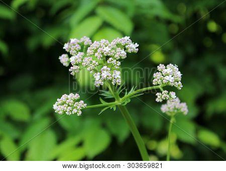 Close Up Plant Valerian, Valeriana Officinalis, Caprifoliaceae.it Is A Perennial Flowering Plant .cr