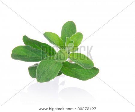 Marjoram Herb (origanum majorana ) isolated over white