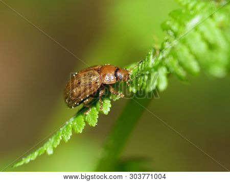 A Small Beetle Sits On A Leaf Of The Plant.it Is The Macrocosm Of Nature.in Latin-gonioctena Interme